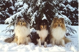 Shelties of the Golden Fir ,Belgica